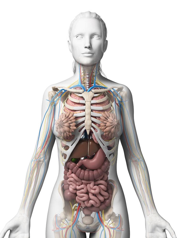 女人体全身器官�_女性人体器官