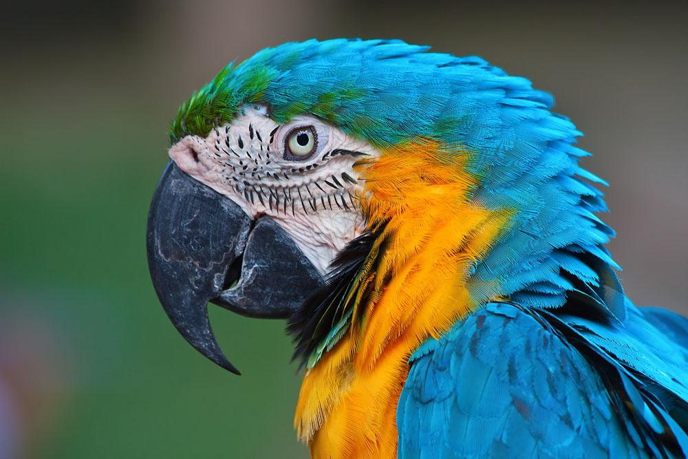 蓝色鹦鹉图片图片
