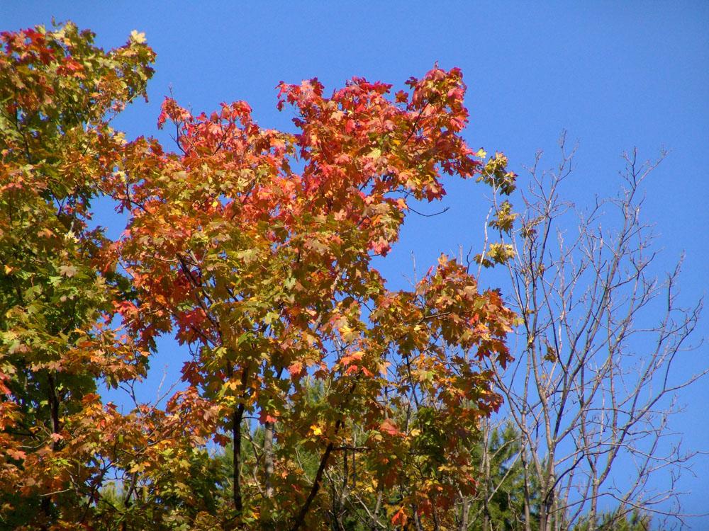 集图网 图片素材 自然风景 秋天枫叶枫树林风光,    收藏 关键词:秋天