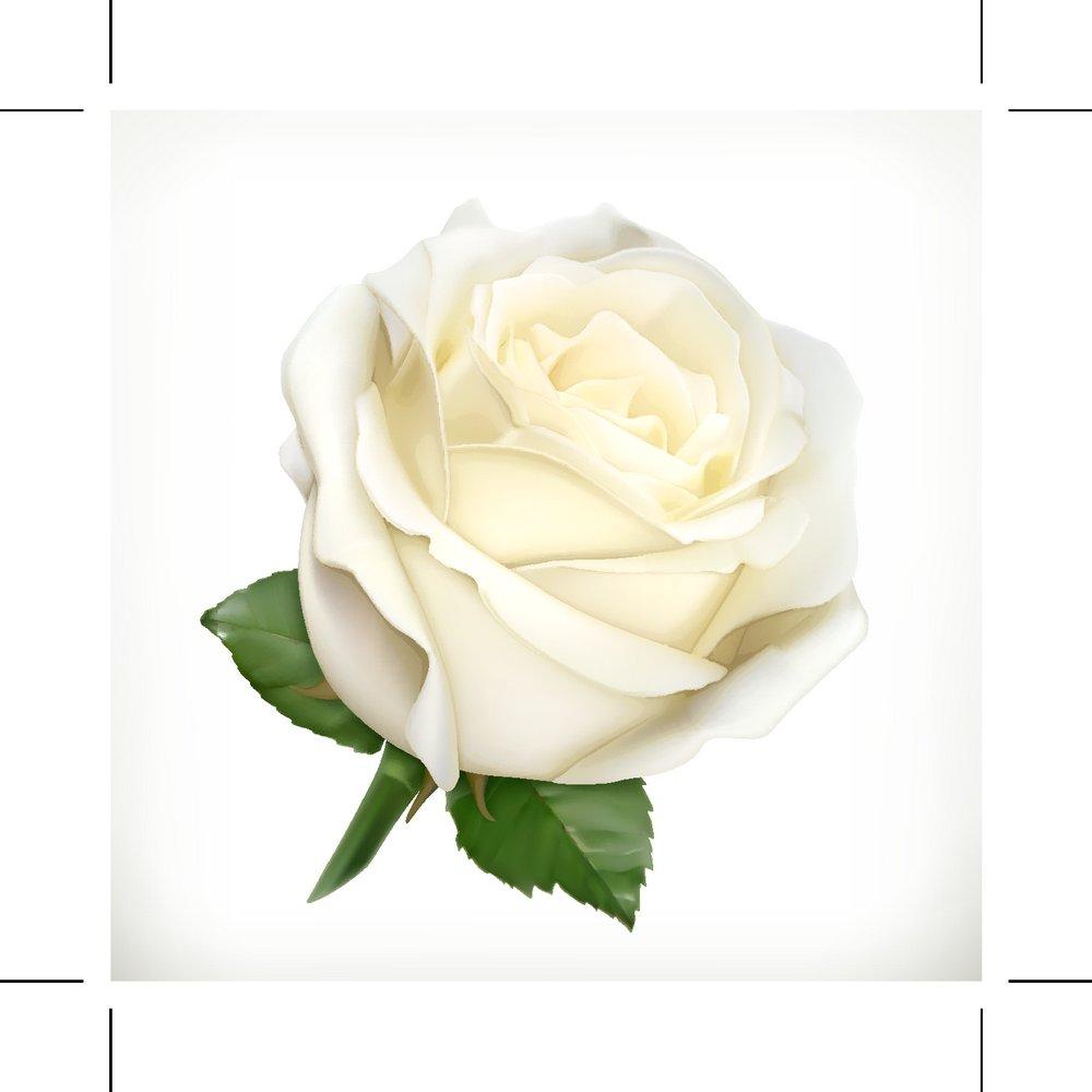 白色玫瑰花图片大全 _排行榜大全图片