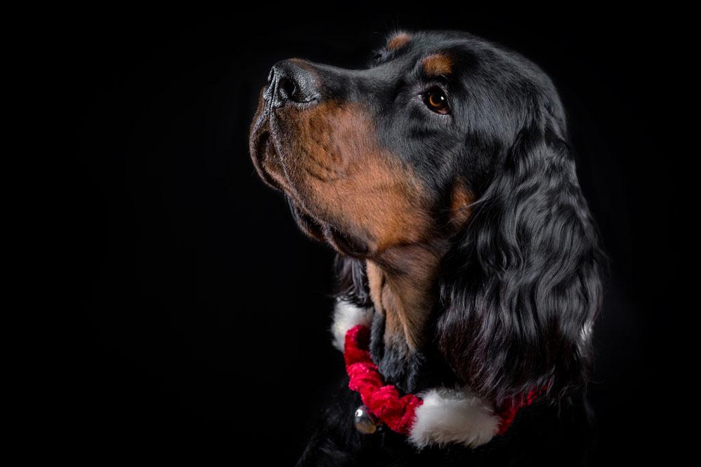 戴耳朵的大铃铛狗狗做了烫发头发毛糙图片