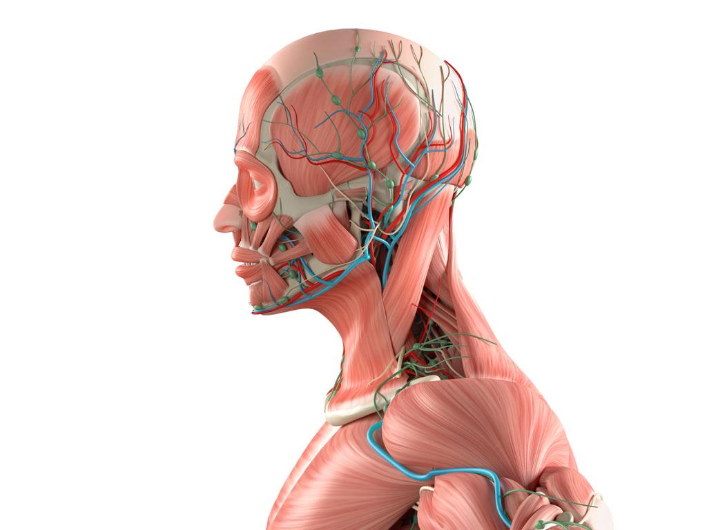 人体肌肉分布图_人体肌肉分布图片素材下载(图片ID:612246)_-人体器官-图片素材_ 集 ...